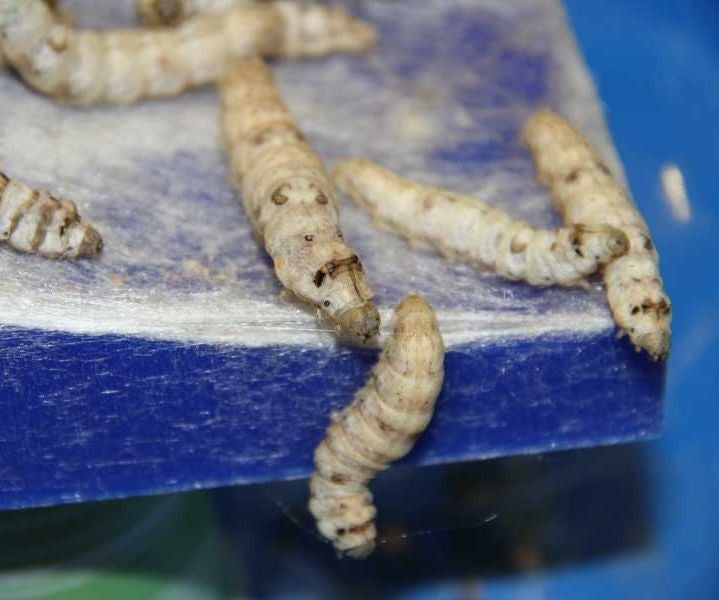 Experiment Design With Silkworms 6 Steps Instructables