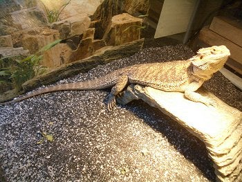 How to Set Up a Bearded Dragon Terrarium