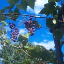 How to prune grapes using the four-arm kniffin system