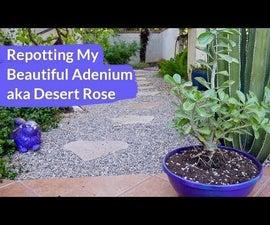 Repotting My Beautiful Adenium (Desert Rose)