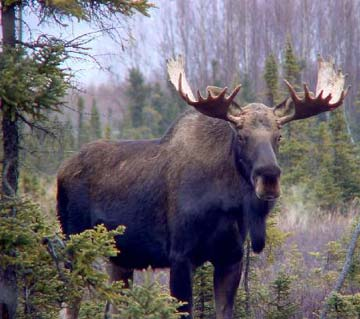 Picture of How to Make Moose Roast
