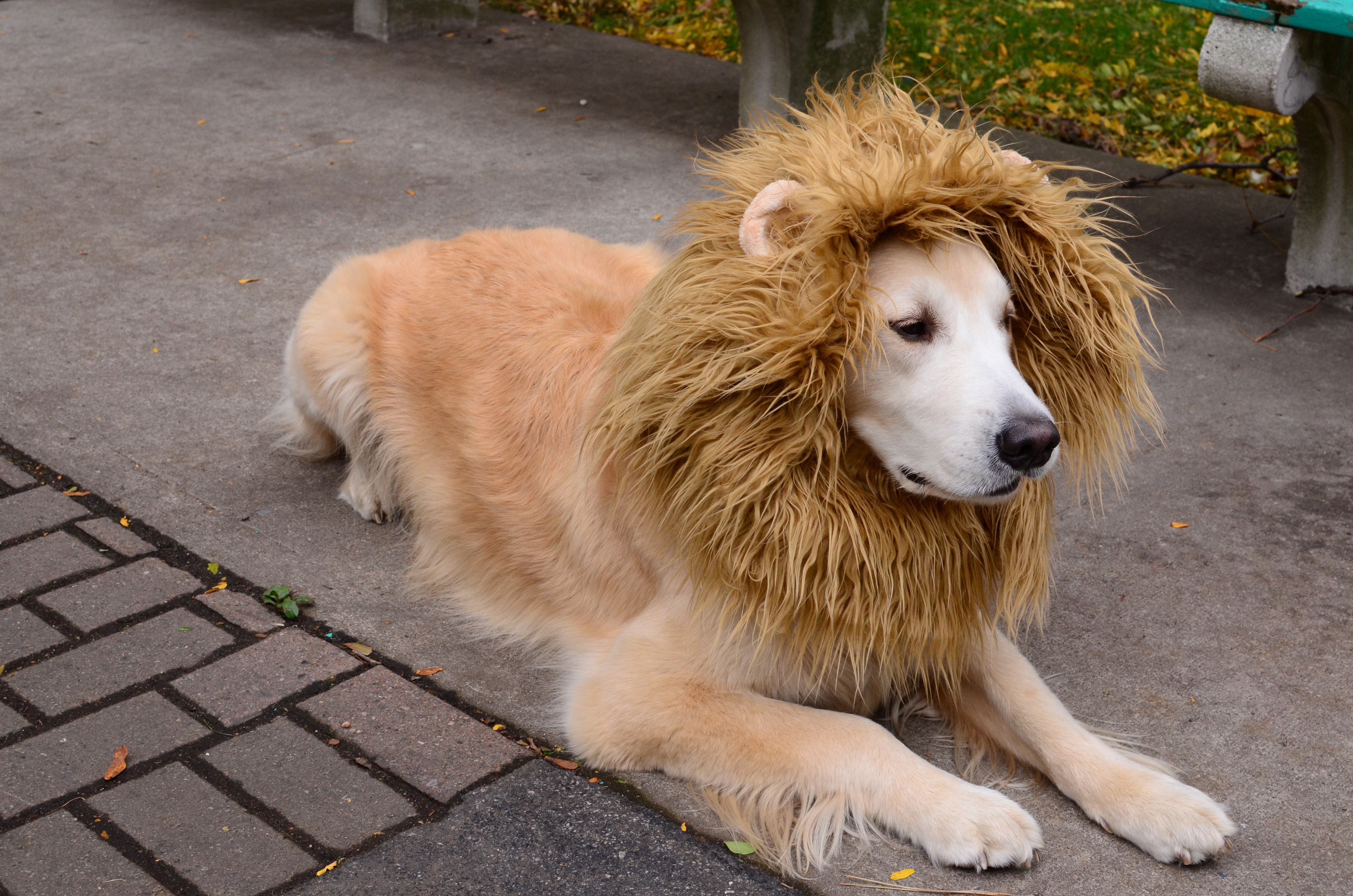 Lion dog costume 5 steps with pictures picture of lion dog costume solutioingenieria Image collections