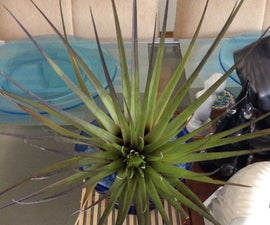 Basic Air Plant Care