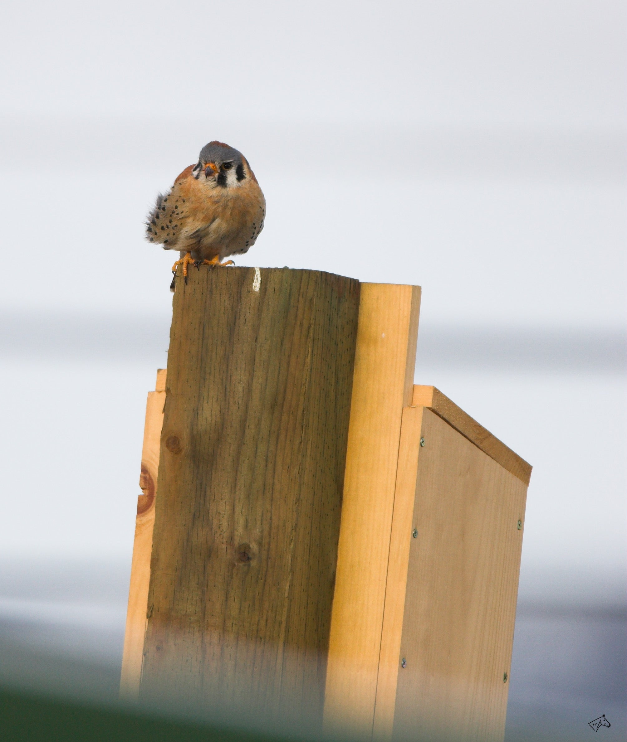 American Kestrel Nest Box 22 Steps With Pictures