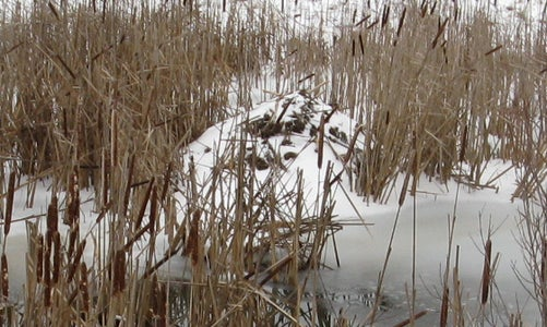 Cattail and Bulrushes