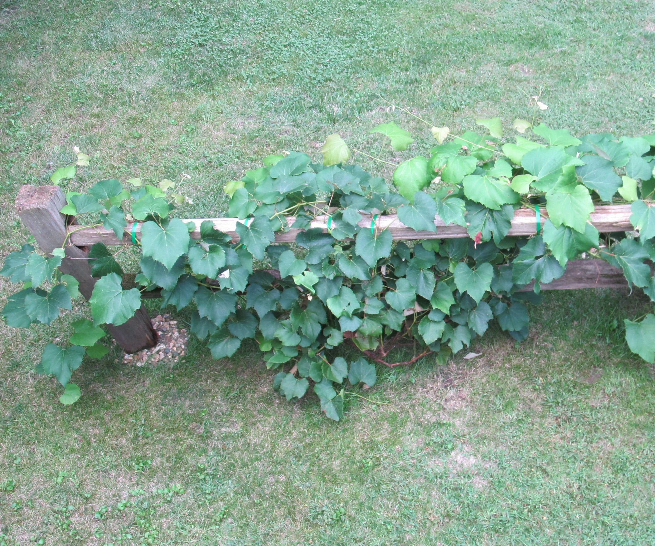 Grape Vine Trellis From a Salvaged Split-Rail Fence: 7 Steps (with ...