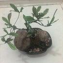 DIY Bonsai from small tree