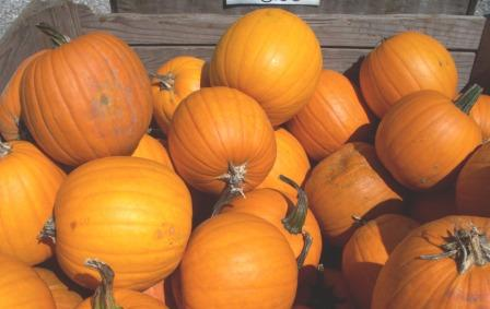 Picture of Pumpkins,watering,feeding,planting,growing Climates,soil