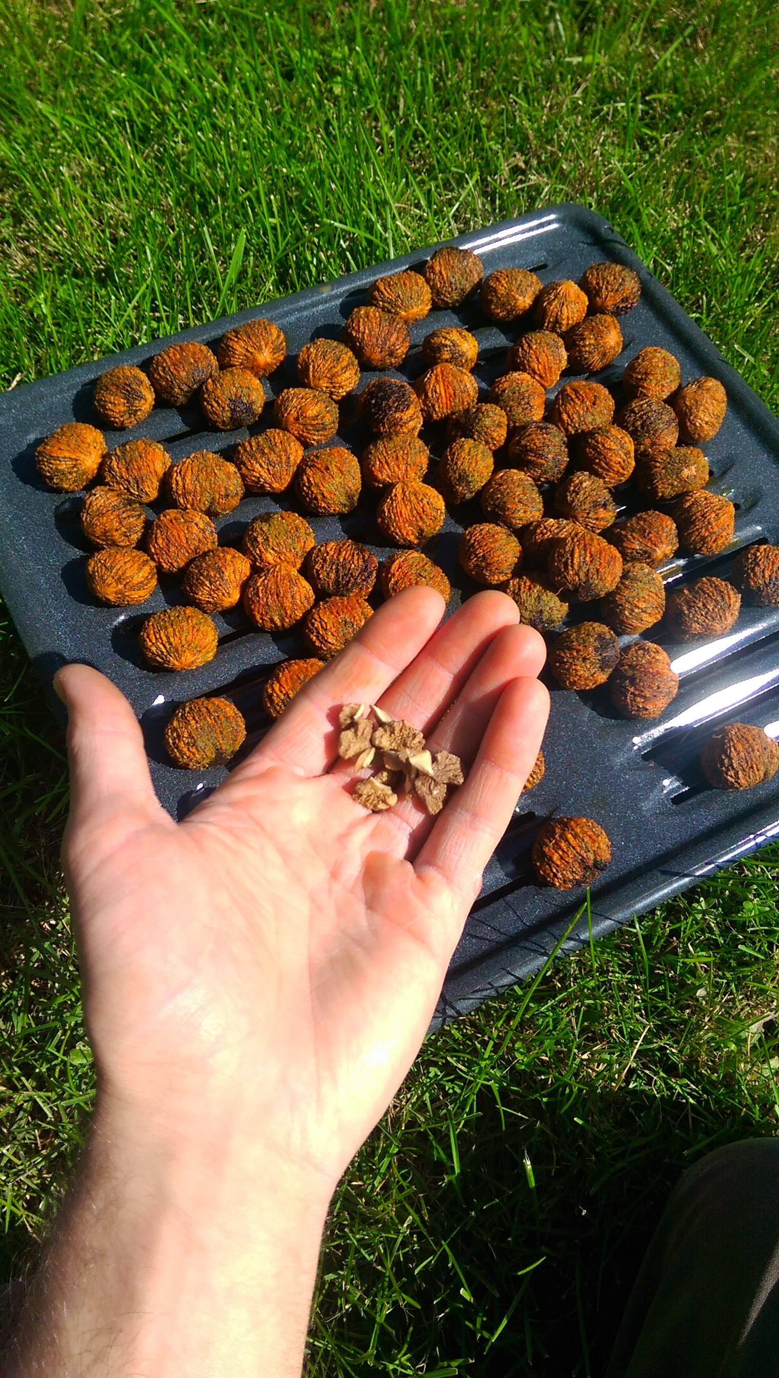 Picture of Forage and Process Your Own Black Walnuts!