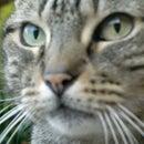 homesteadcat