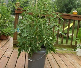 How to Boost Your Tomatoes Defenses with Aspirin