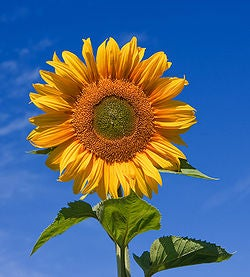 How to Save Your Sunflowers From Critters for Less  Than  $2