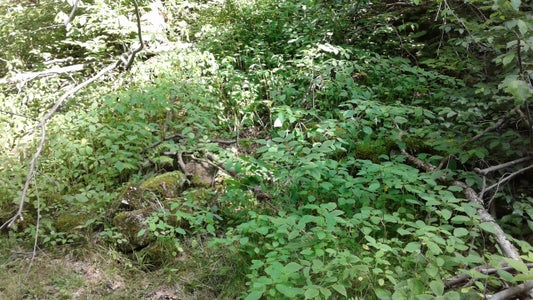 Collect Jewelweed for Dyeing