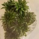 Home Plant Tissue Culture - Australian Trigger Plants