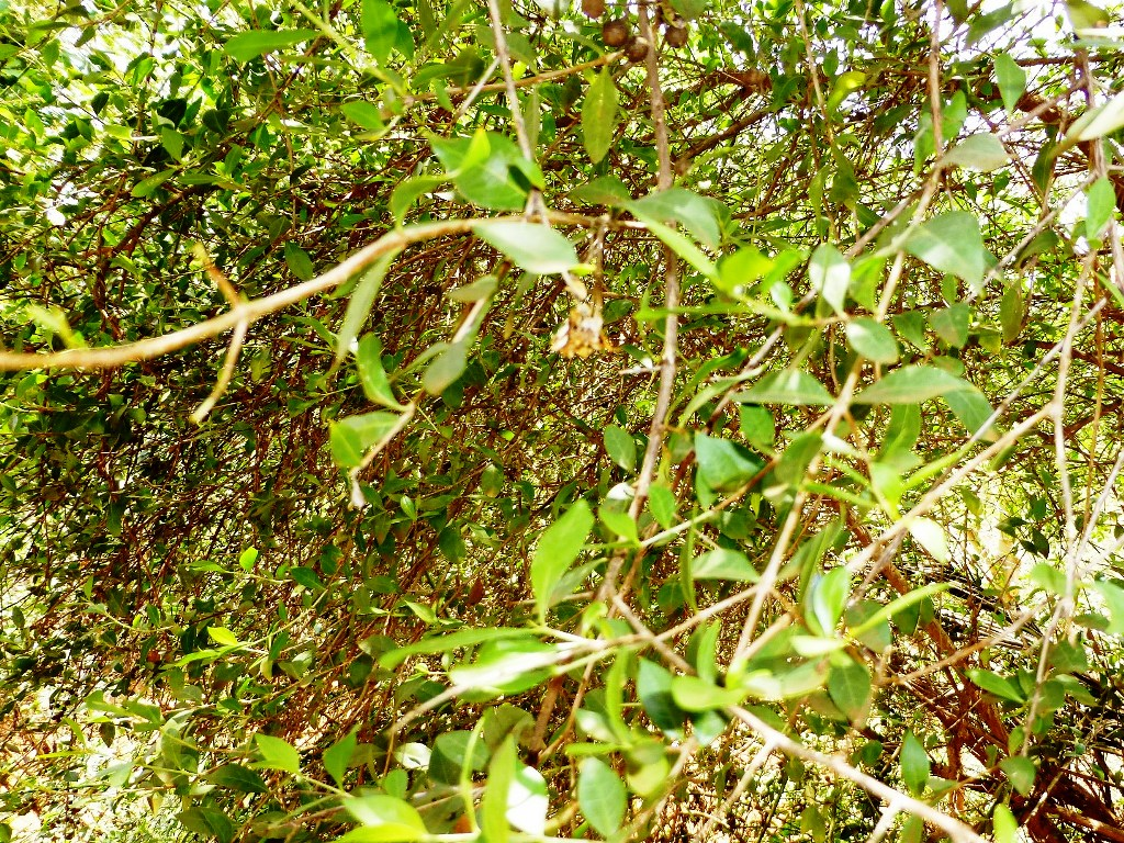 Picture of The Henna Tree : Lawsonia Inermis