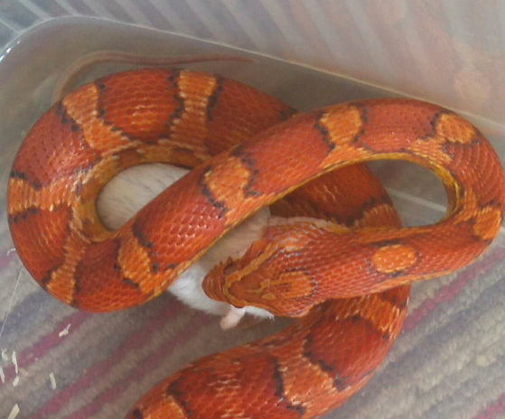 Picture of How to Feed a Corn Snake