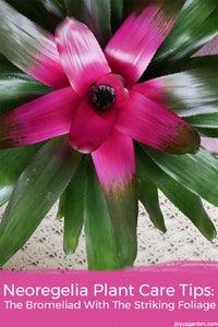 Neoregelia Plant Care Tips: the Bromeliad With the Striking Foliage
