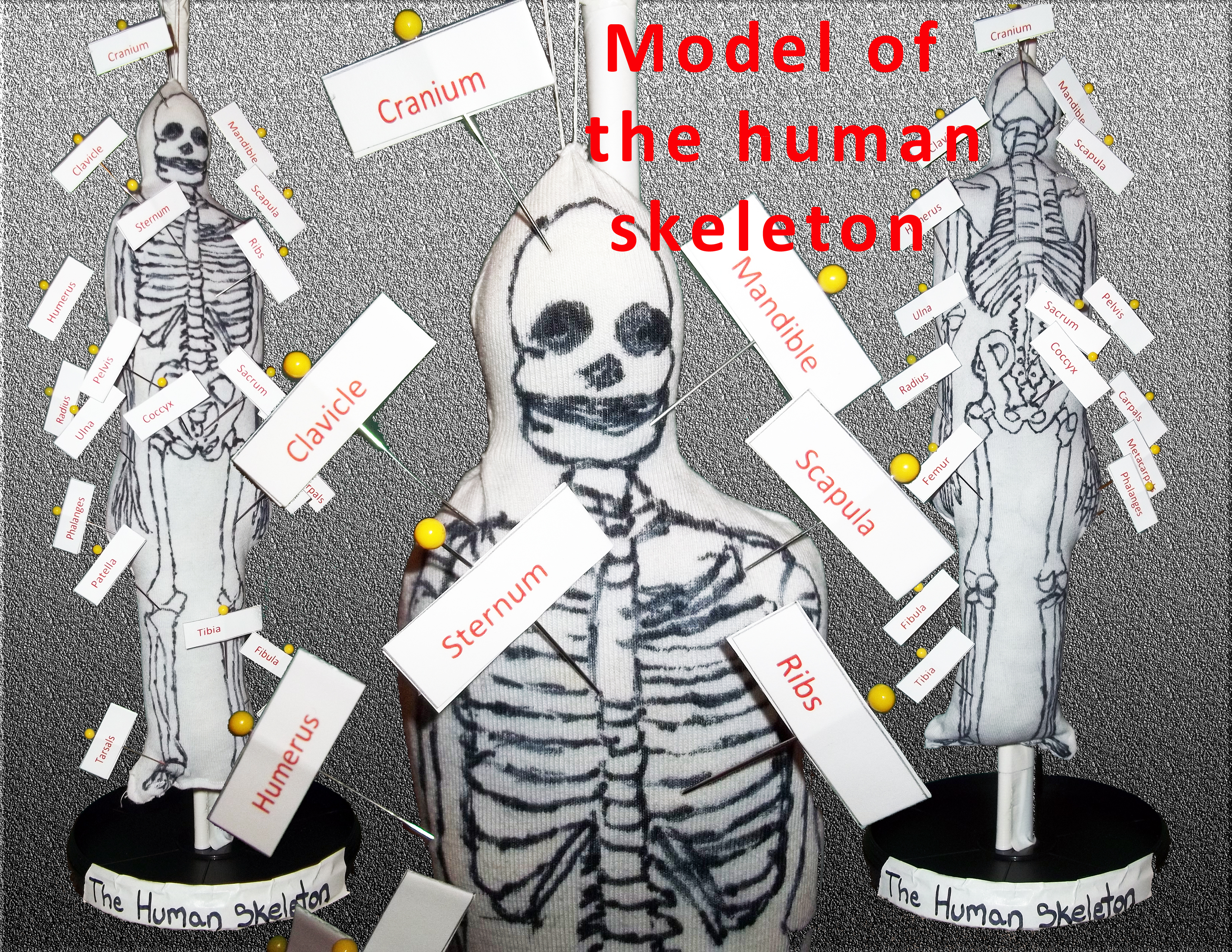 Picture of Model of the Human Skeleton