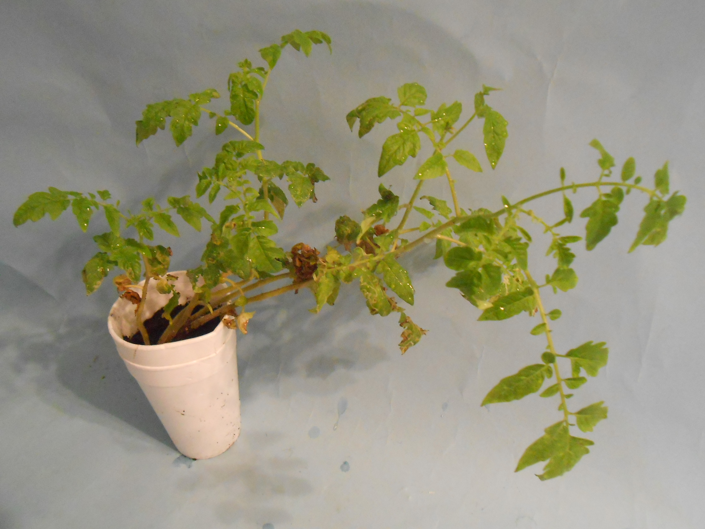 Picture of How to Grow Tomatoes Indoors2