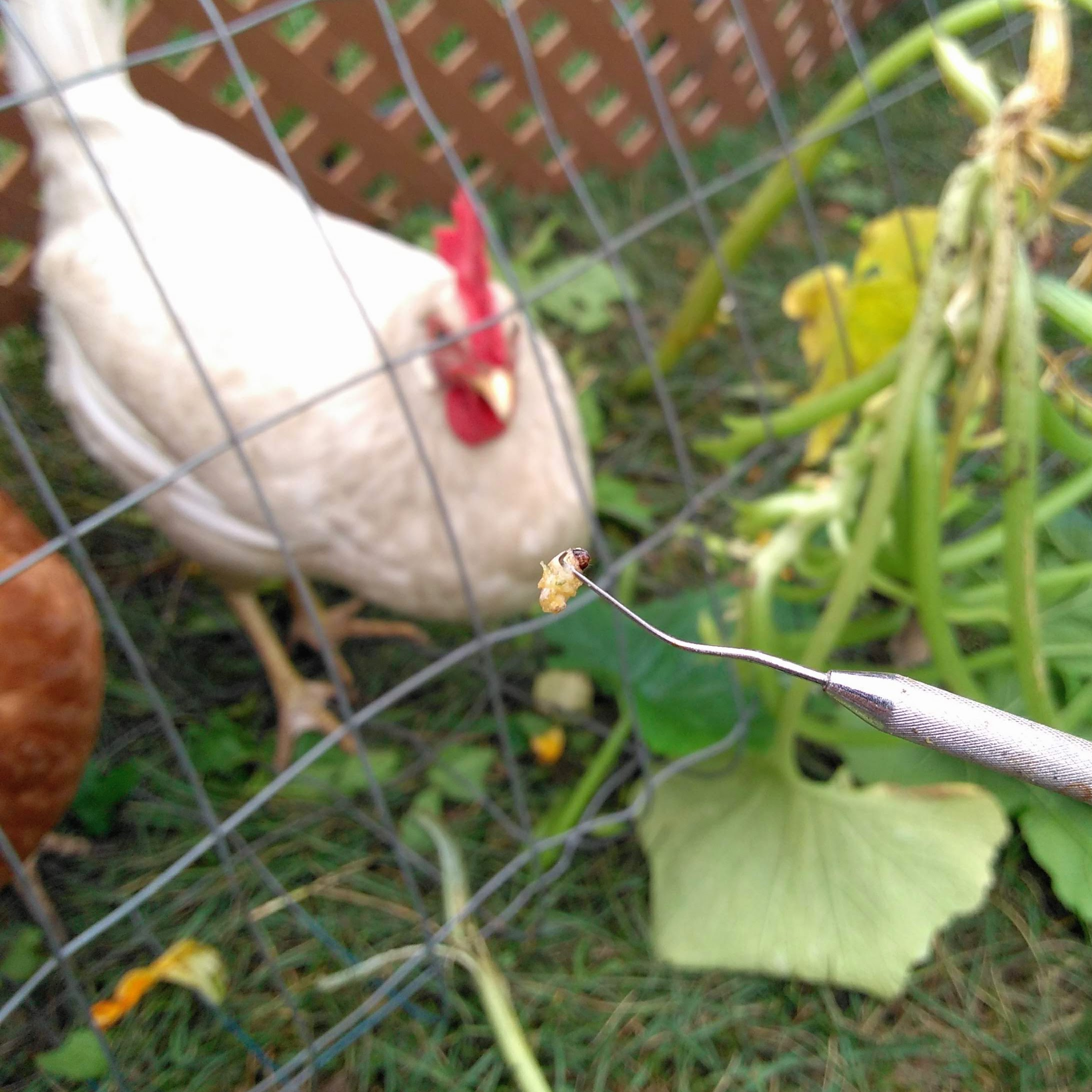Picture of Partnering With Chickens