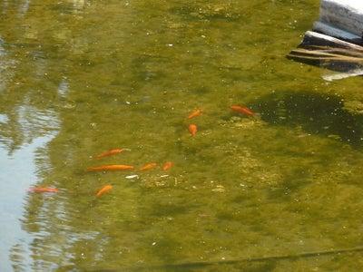 Alternative Heat From Pond Scum