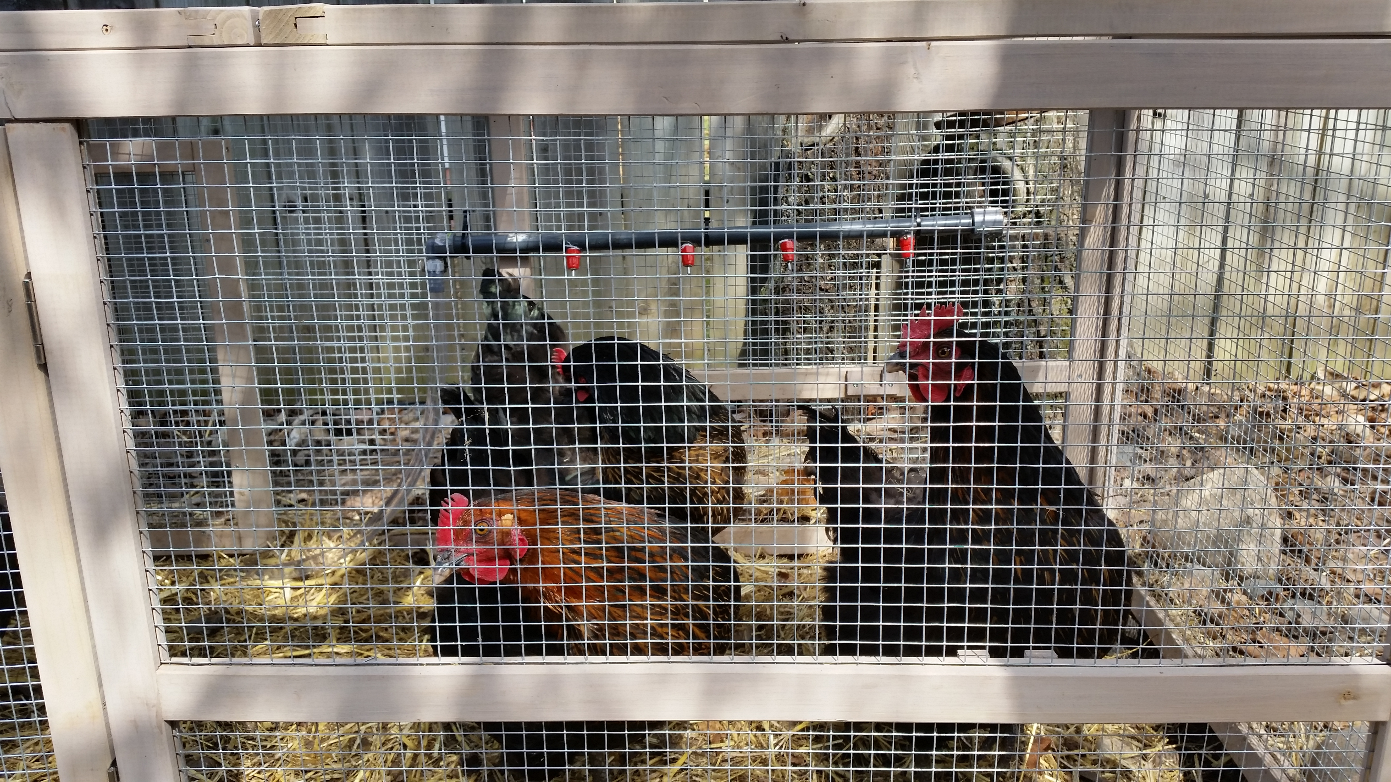 Picture of Chicken Waterer