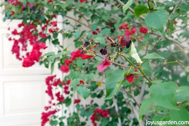 Picture of Light Freeze Damage on Bougainvilleas: What It Looks Like & What to Do About It