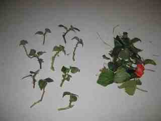 Picture of Pruning the Cuttings