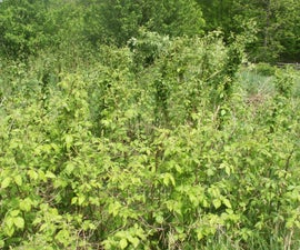 Cultivating Black Berry Plants
