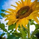 SunflowerBabe