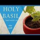 "How to Plant Indoor ""HOLY BASIL"""