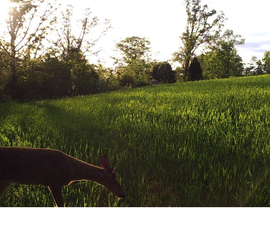How to Make a Winter Wheat Food Plot for Deer