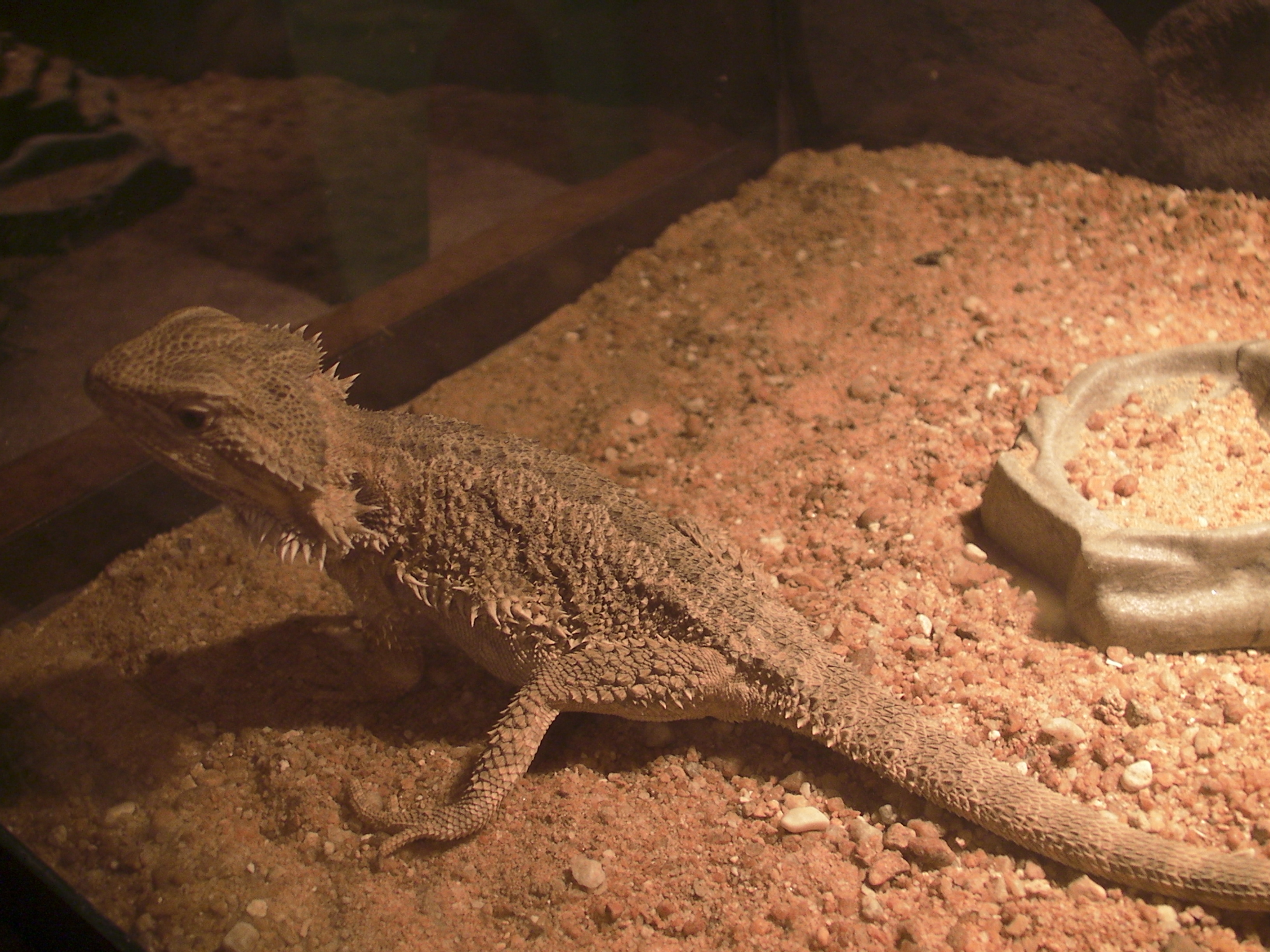 Bearded agama: maintenance, care, feeding and interesting facts 89