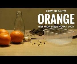 How to Grow Orange Tree From Seeds. Bottle Germination Method. Work Always. 100% Success.