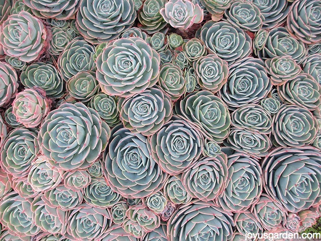 Picture of HENS & CHICKS