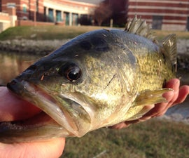 Bass Fishing For Pros And Beginners