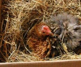Hatching Quail - Choosing a Mother Hen. Cailles - Choix de mère poule. Codorniz - Elección de gallina