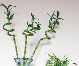 A Houseplant That Grows in Water: Lucky Bamboo Care Tips