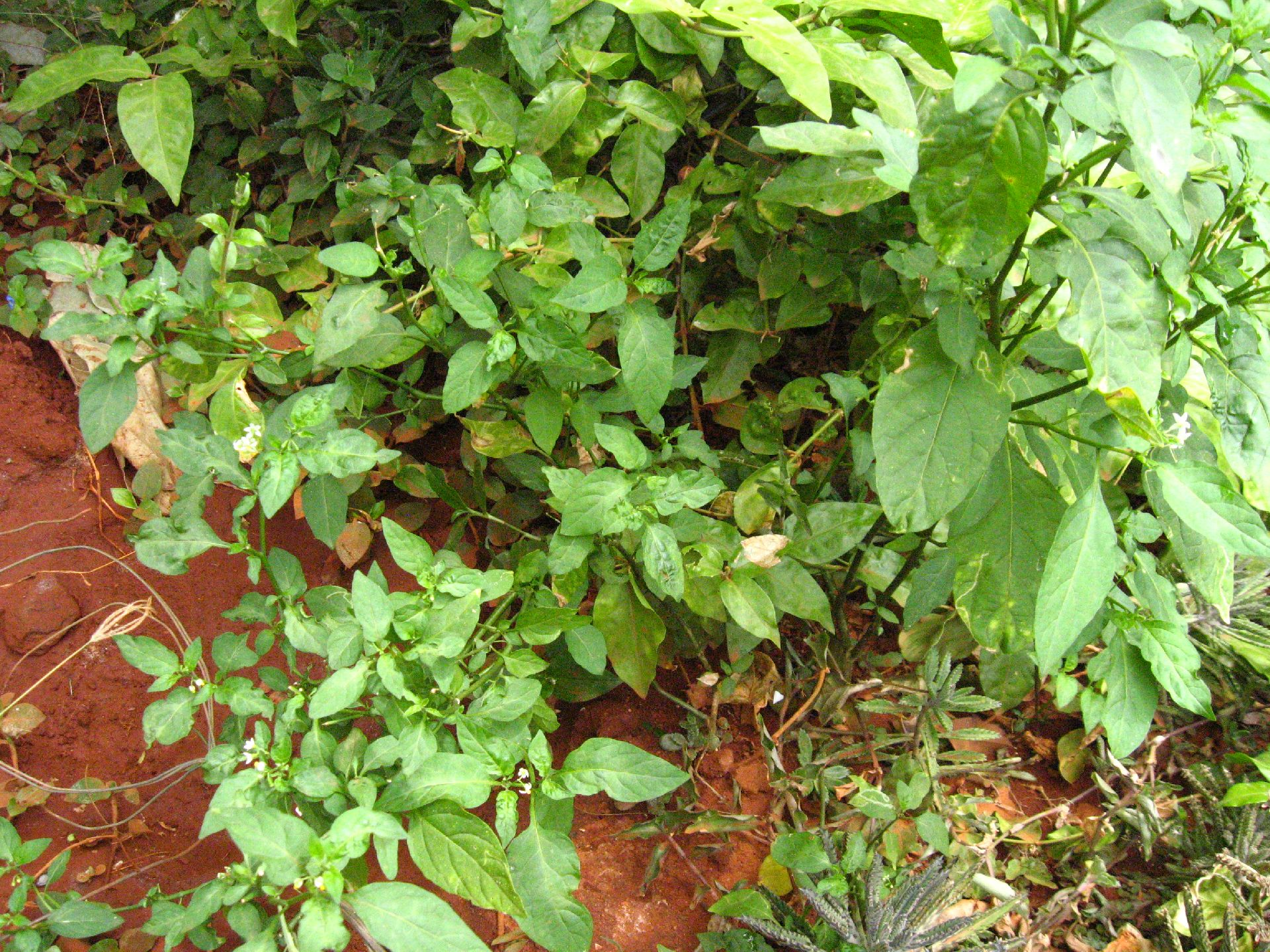 Picture of Black Nightshade or Green Nightshade