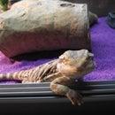 Bearded Dragon Vivarium