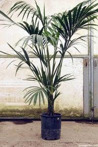 Kentia Palm; Howea Forsteriana