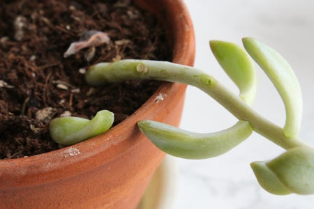 Remove the Succulent Leaves From a Mature Plant