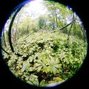 Harvesting Natural Podophyllotoxin in Your Local Forest for Use in Treating Genital Warts