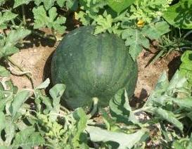 Picture of Watermelon, Watering,Feeding,Planting,Growing Climates,Soil