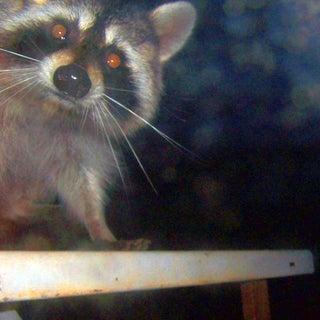 raccoon  looking in door from outside table.jpg