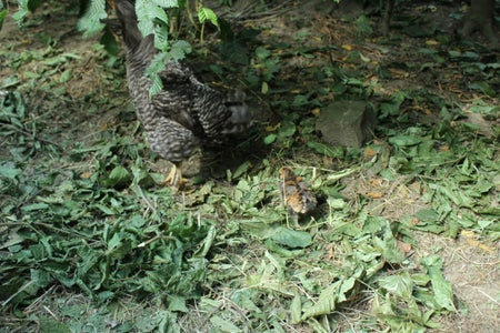 Nutritional & Medicinal Value of Hedging and Tree Fodder