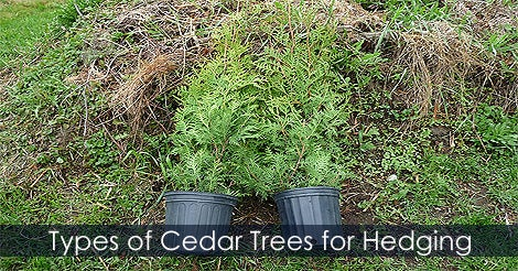 Prepare Your Soil Mix and Select Your Type of Cedar