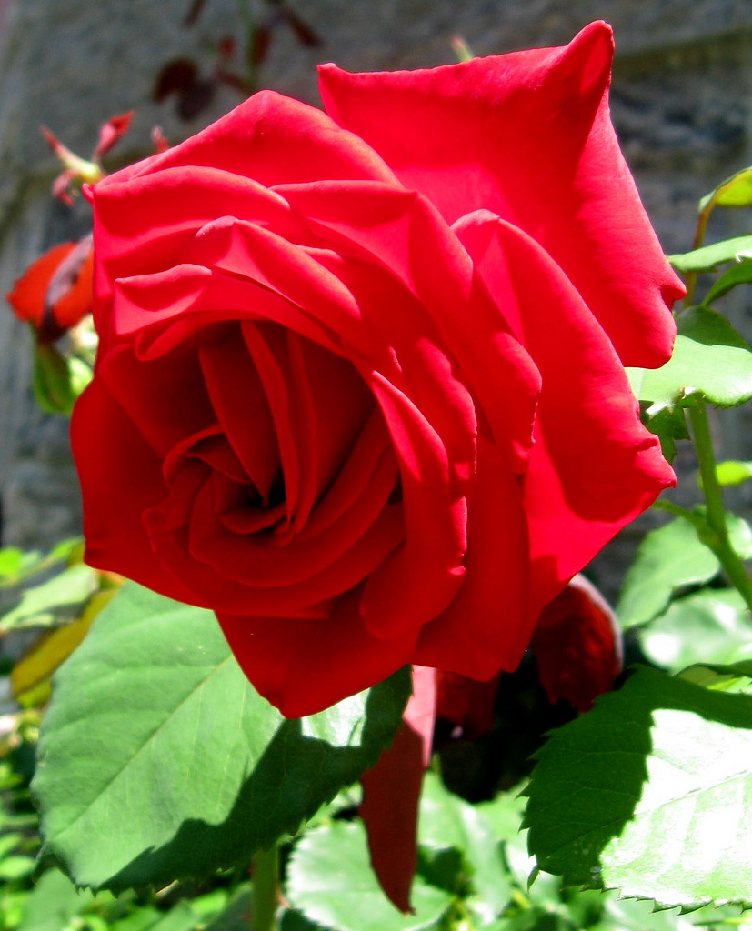 Picture of Caring for the Roses