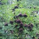 Elderberry Liqueur
