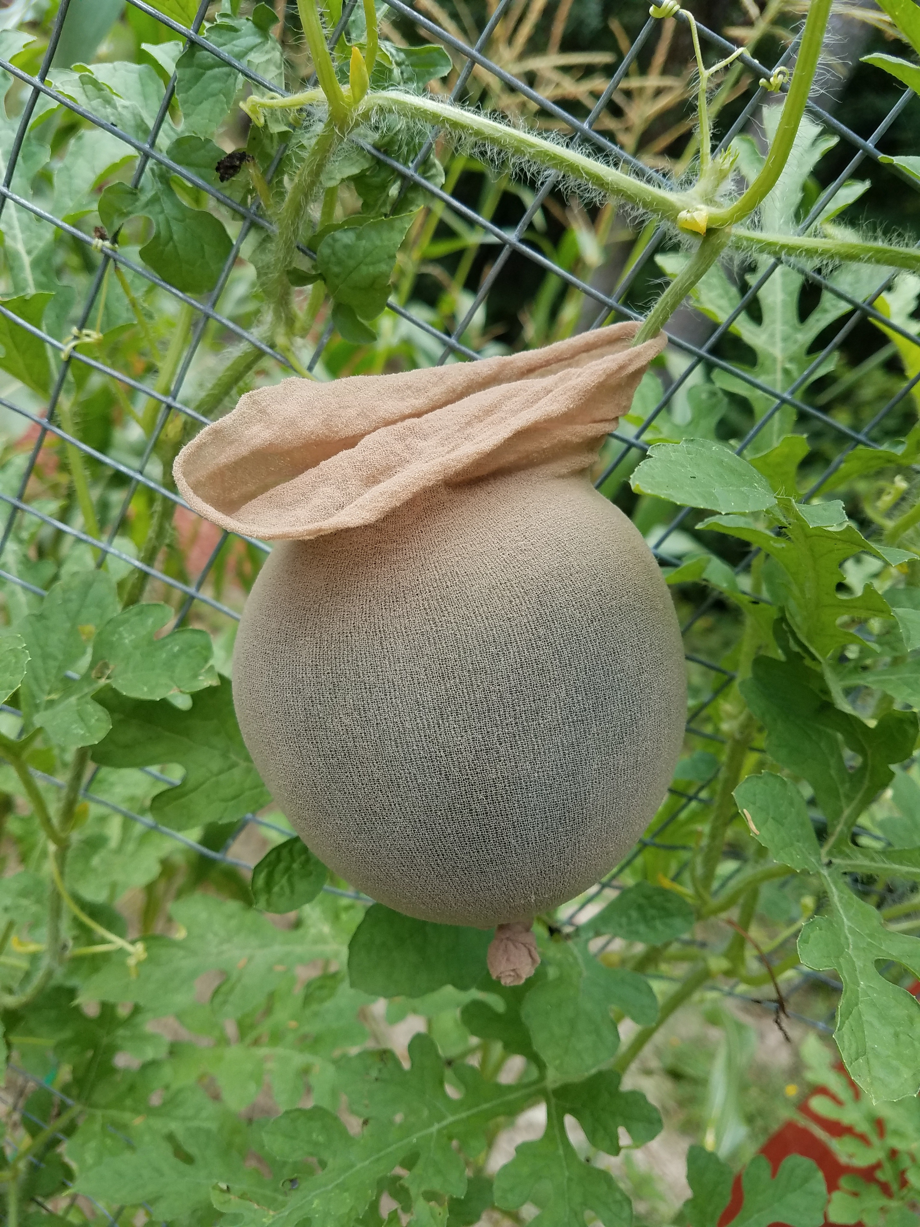 Picture of Trellis Your Melons